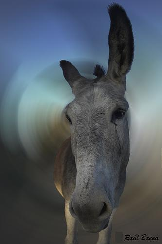 burro orejas escuchar guggy
