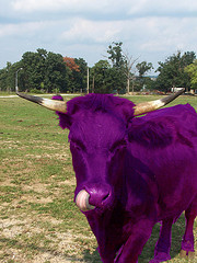 innovacion purple cow